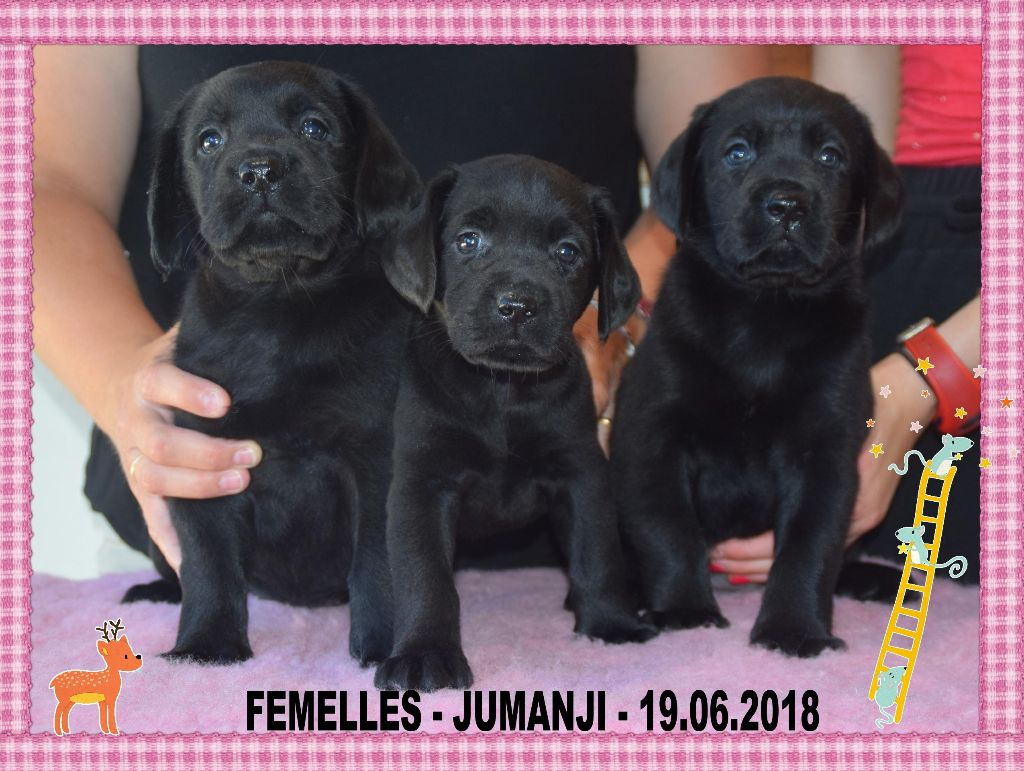 de la Passe de l'Eider - Chiot disponible  - Labrador Retriever