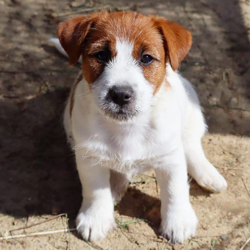 du Vallon de l'Alba - Chiot disponible  - Jack Russell Terrier