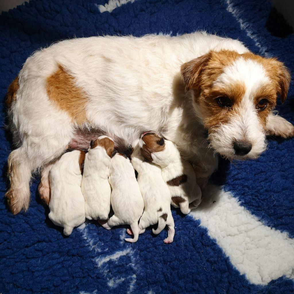 du Vallon de l'Alba - Jack Russell Terrier - Portée née le 07/02/2021