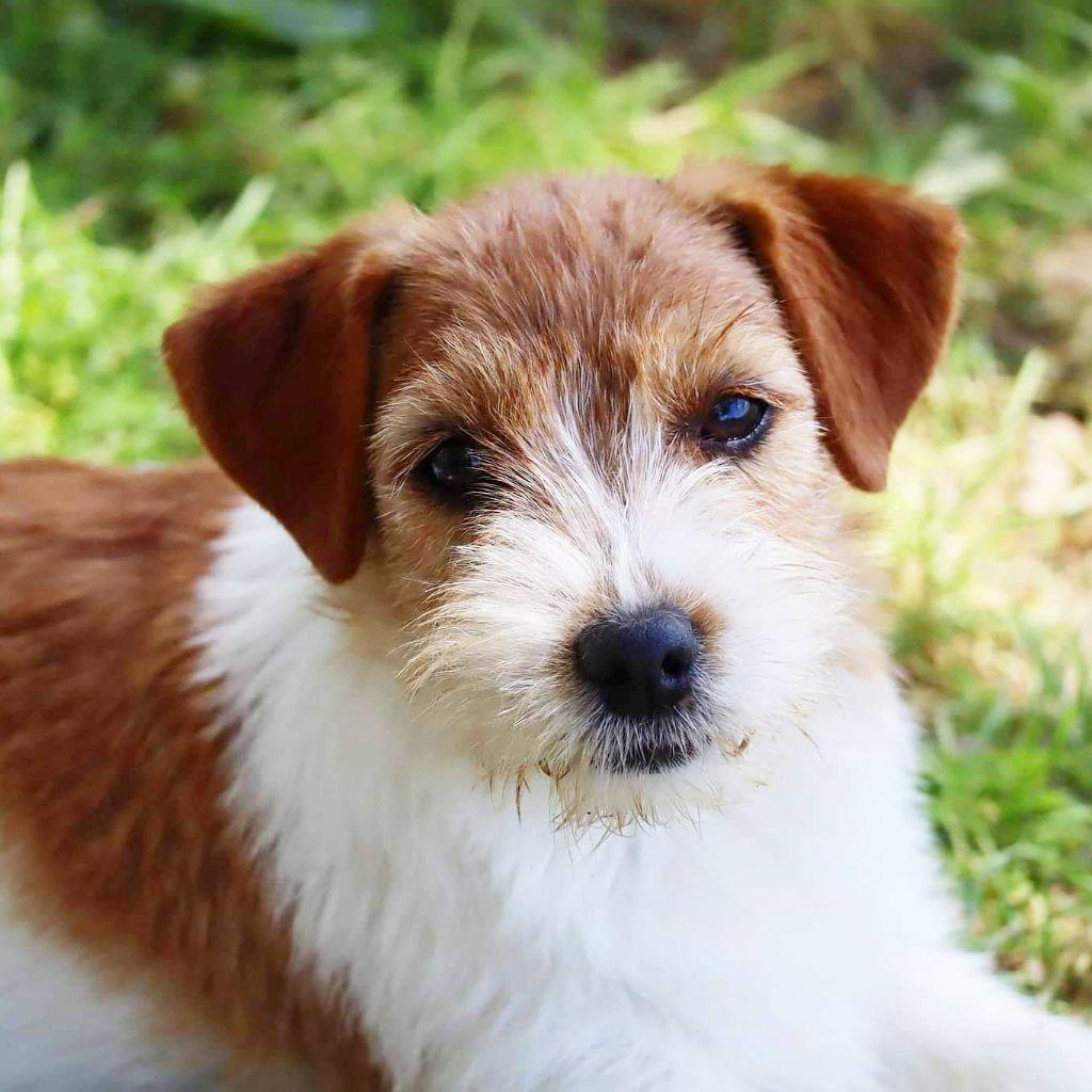 chiot Jack Russell Terrier du Vallon de l'Alba