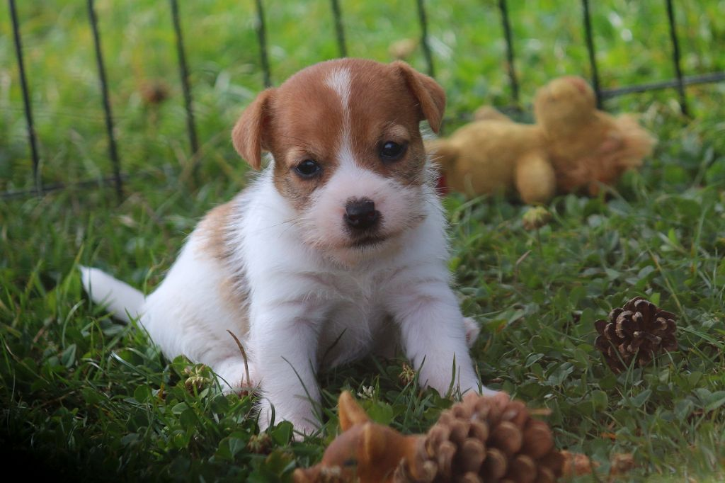 du Vallon de l'Alba - Chiot disponible  - Jack Russell Terrier
