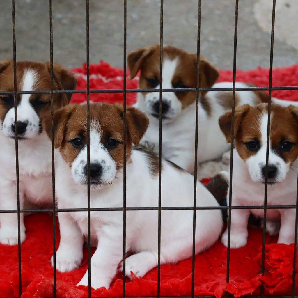 du Vallon de l'Alba - Jack Russell Terrier - Portée née le 30/07/2021