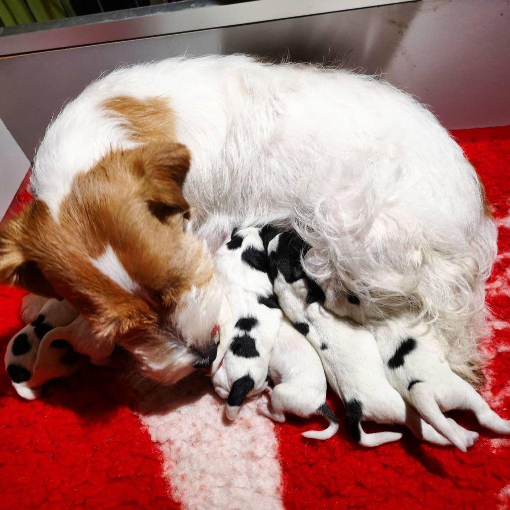 du Vallon de l'Alba - Jack Russell Terrier - Portée née le 09/02/2021