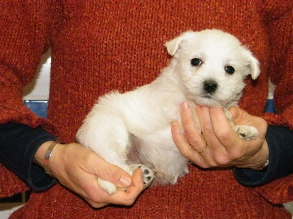 OBI - West Highland White Terrier