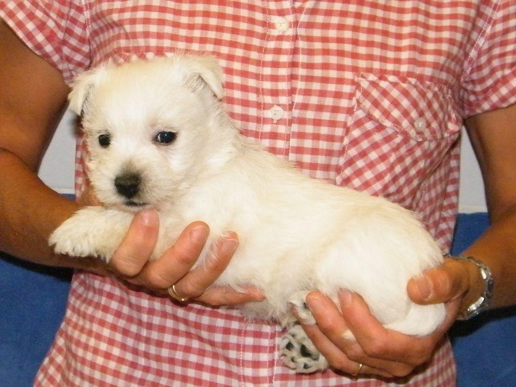 NOUGAT - West Highland White Terrier
