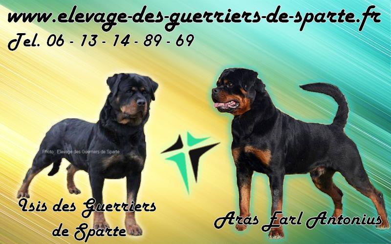 des guerriers de Sparte - Chiot disponible  - Rottweiler