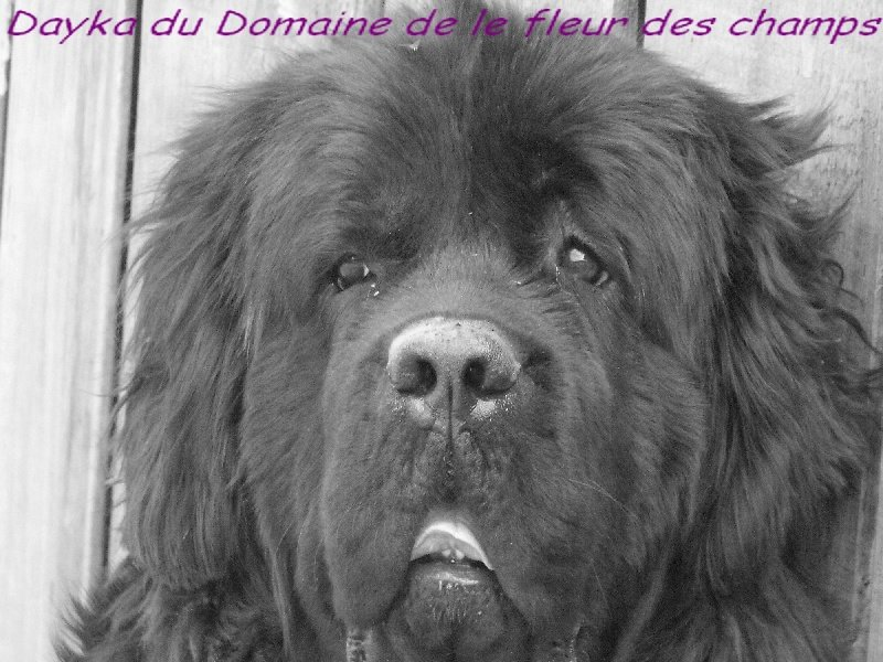 dayka du domaine de la fleur des champs chien de race toutes races en tous departements france. Black Bedroom Furniture Sets. Home Design Ideas
