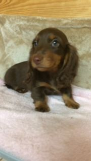 d'Hollywood Teckel - Chiot disponible  - Teckel poil long