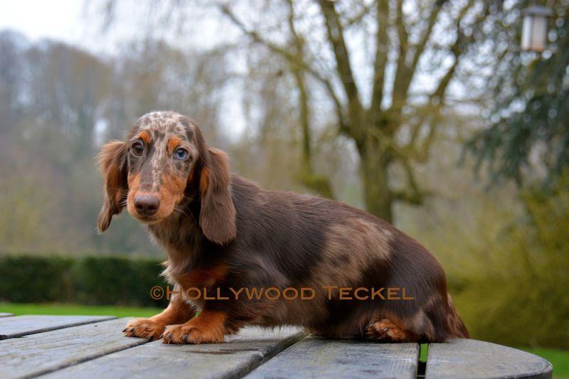 d'Hollywood Teckel - Chiot disponible  - Teckel poil long