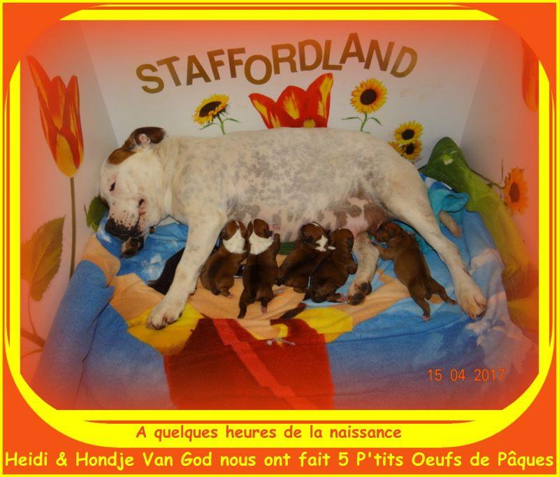 Staffordland - Staffordshire Bull Terrier - Portée née le 15/04/2017
