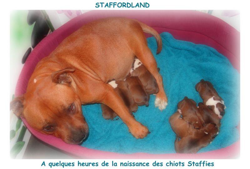 Staffordland - Staffordshire Bull Terrier - Portée née le 13/10/2018