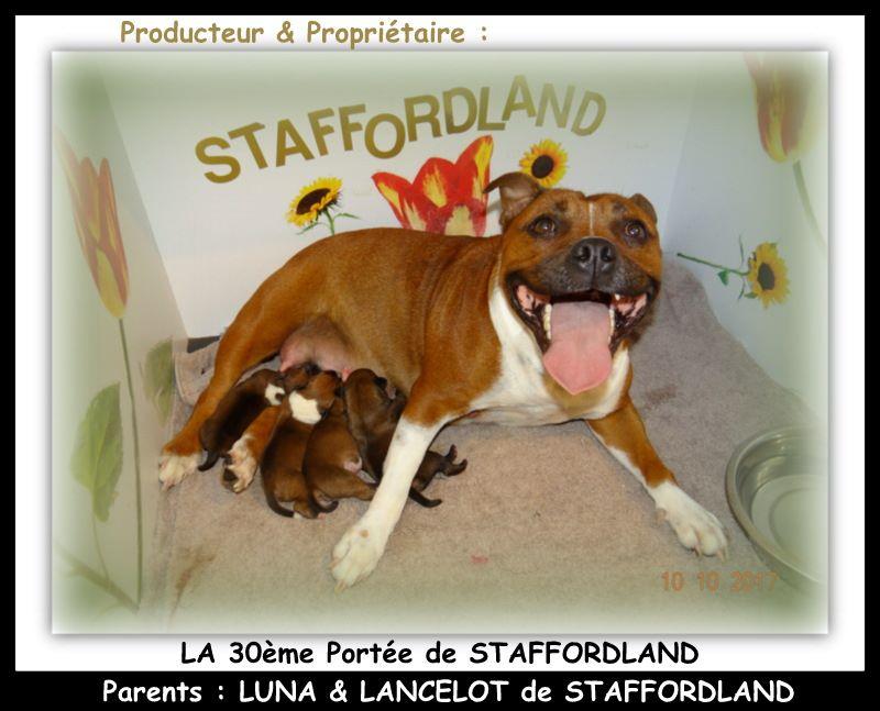 Staffordland - Staffordshire Bull Terrier - Portée née le 09/10/2017