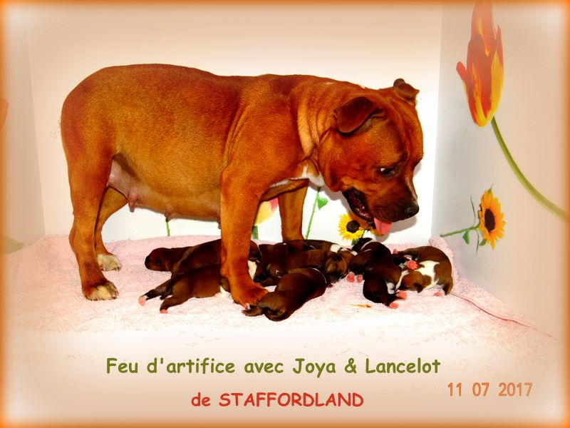Staffordland - Staffordshire Bull Terrier - Portée née le 11/07/2017
