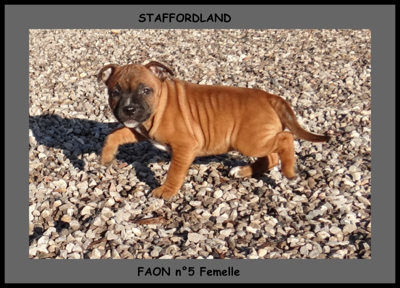 Staffordland - Chiot disponible  - Staffordshire Bull Terrier