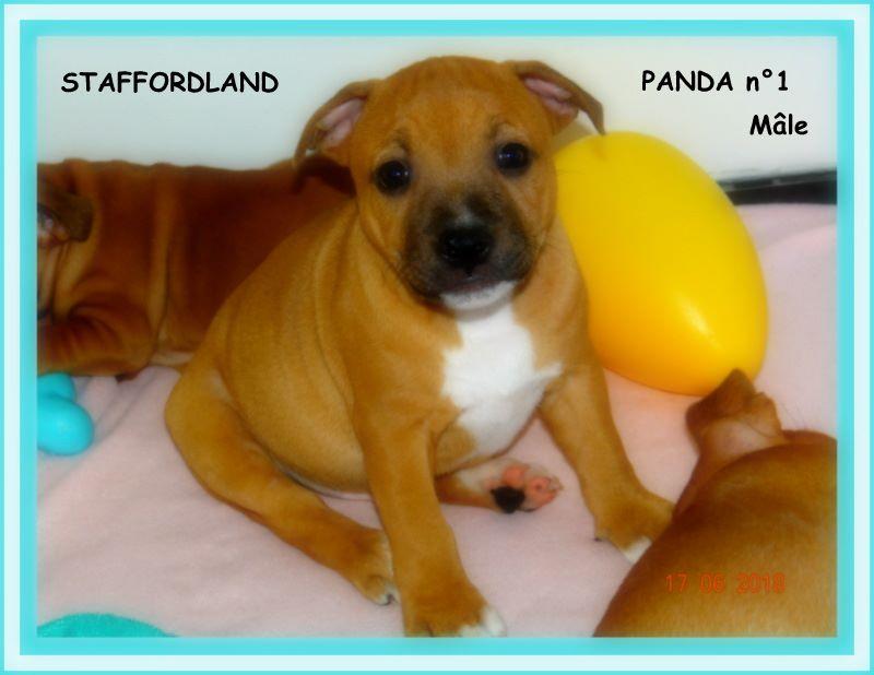 Staffordland - Chiot disponible  - Staffordshire Bull Terrier