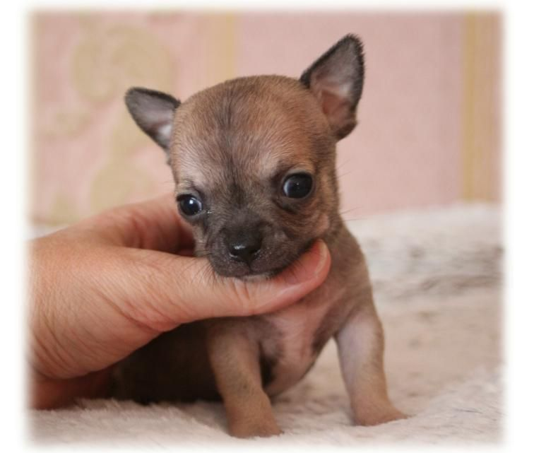 du Diamant d'Or - Chiot disponible  - Chihuahua
