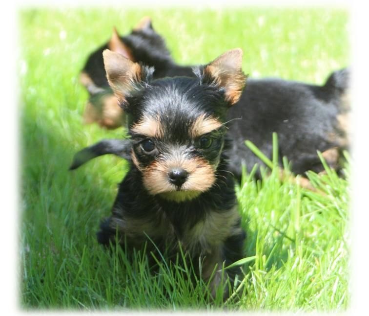 Peby Doll du Diamant d'Or - Yorkshire Terrier