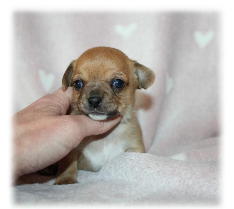 du Diamant d'Or - Chiot disponible  - Chihuahua