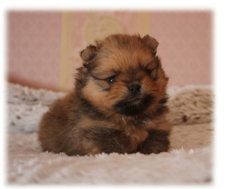 du Diamant d'Or - Chiot disponible  - Spitz allemand