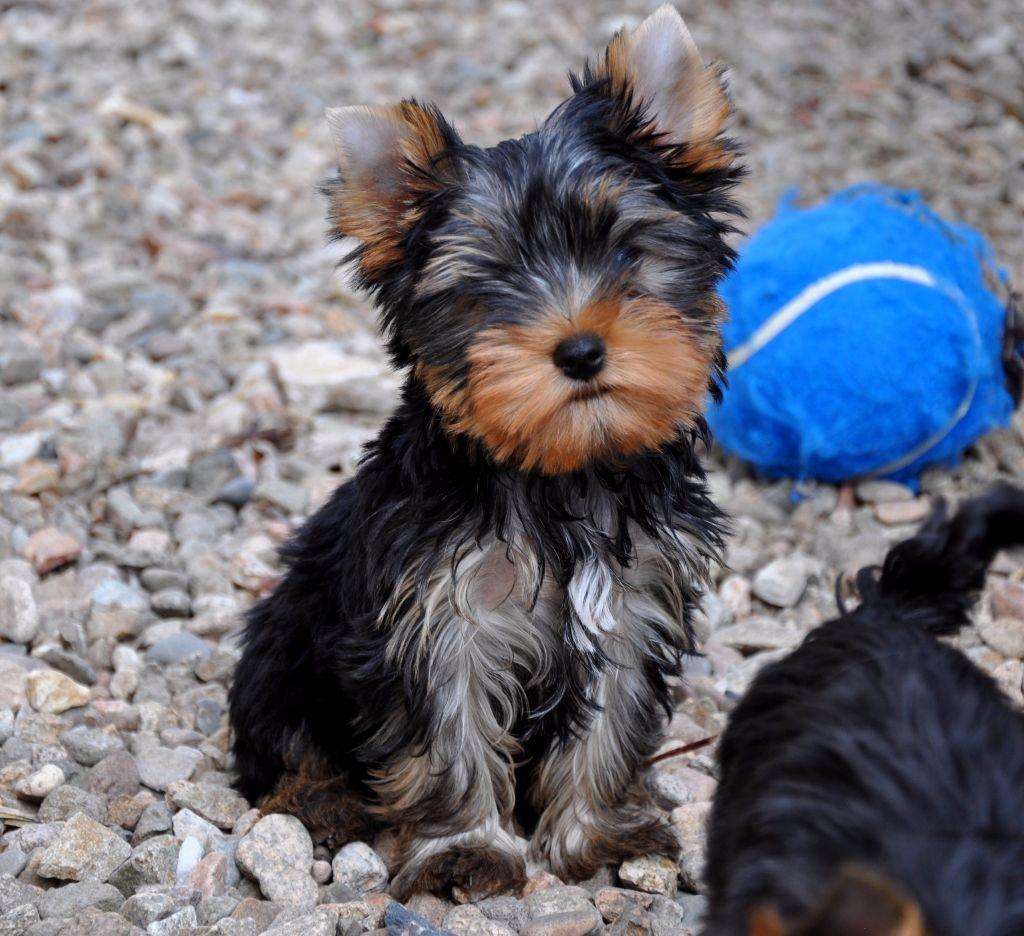 Napo Leon Du Mas Des Anges - Yorkshire Terrier