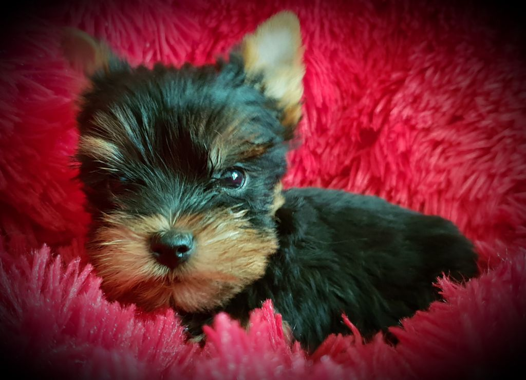 du Mas des Anges - Chiot disponible  - Yorkshire Terrier