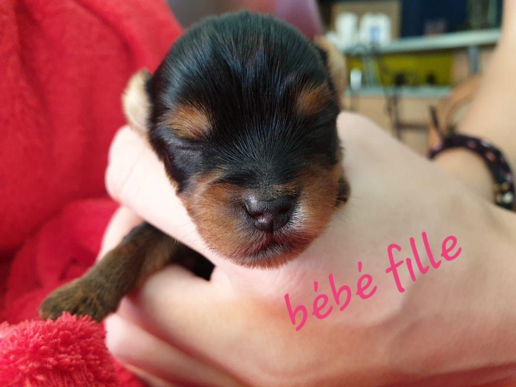 du Mas des Anges - Chiot disponible  - Yorkshire Terrier