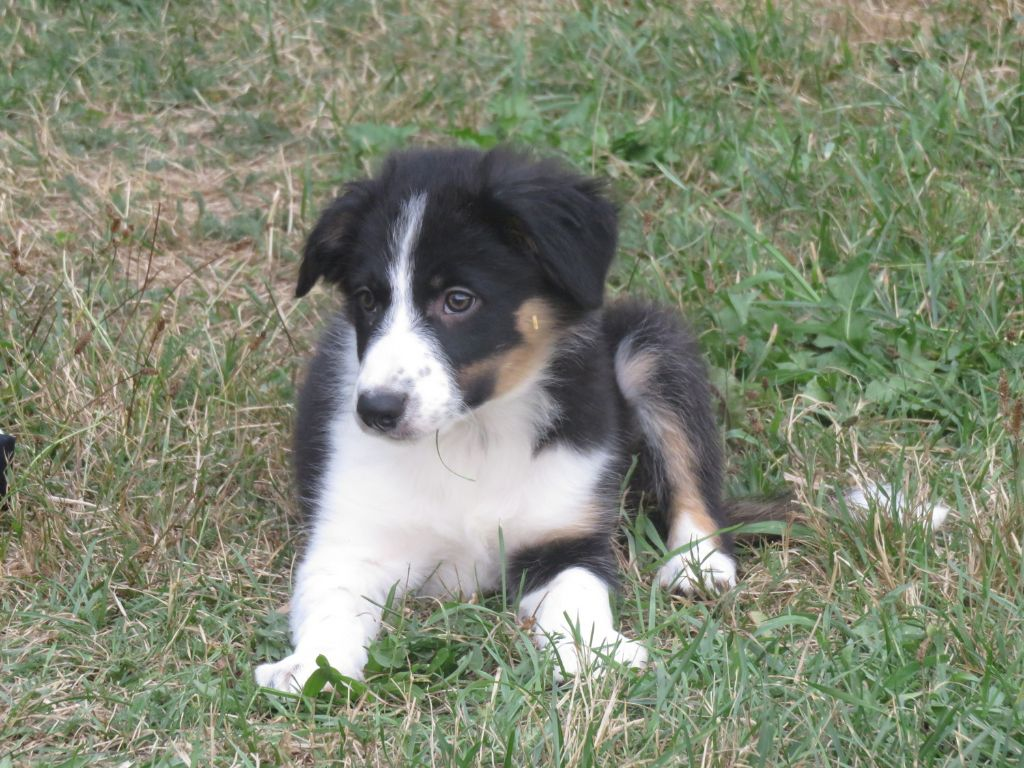 des Monts du Levezou - Chiot disponible  - Border Collie