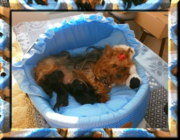 de Clairamour - Chiot disponible  - Yorkshire Terrier