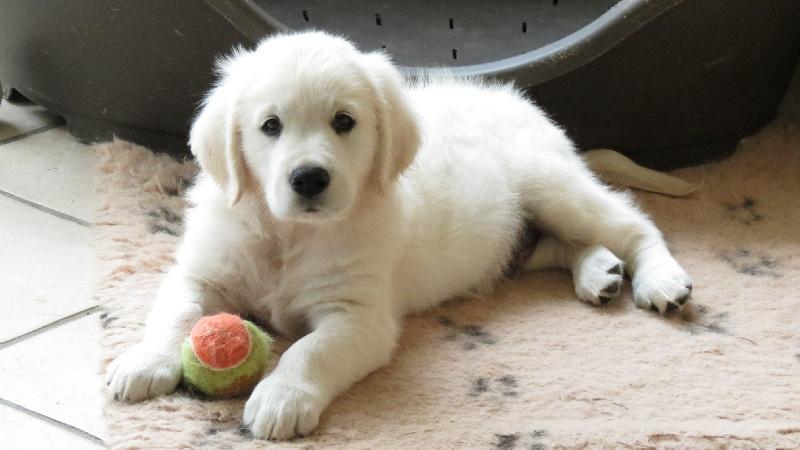 Chiot - - eleveur de chiens Golden Retriever