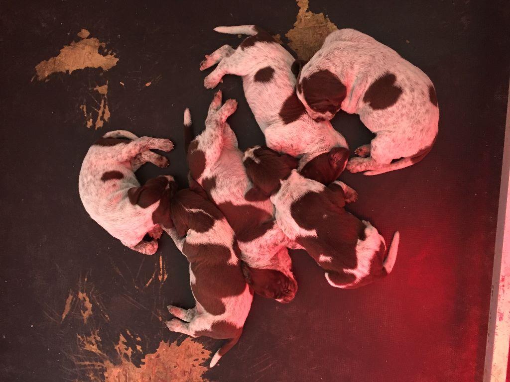 CHIOT - Braque allemand à poil court