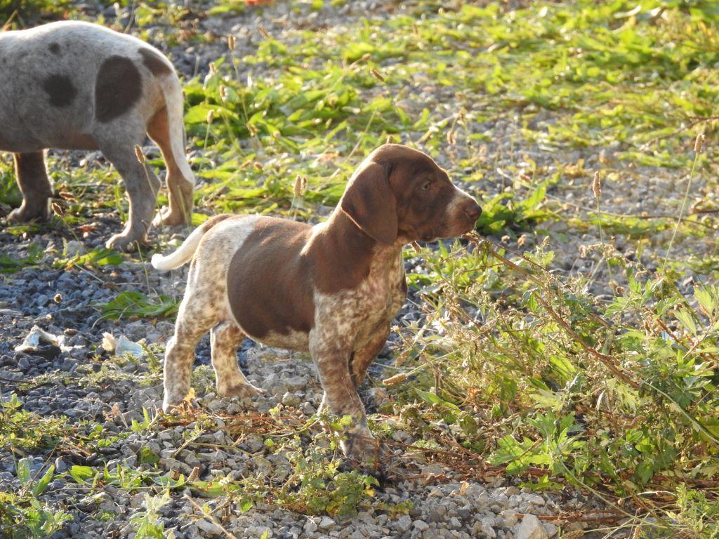 du Clos de Reve d'Or - Chiot disponible  - Braque allemand à poil court