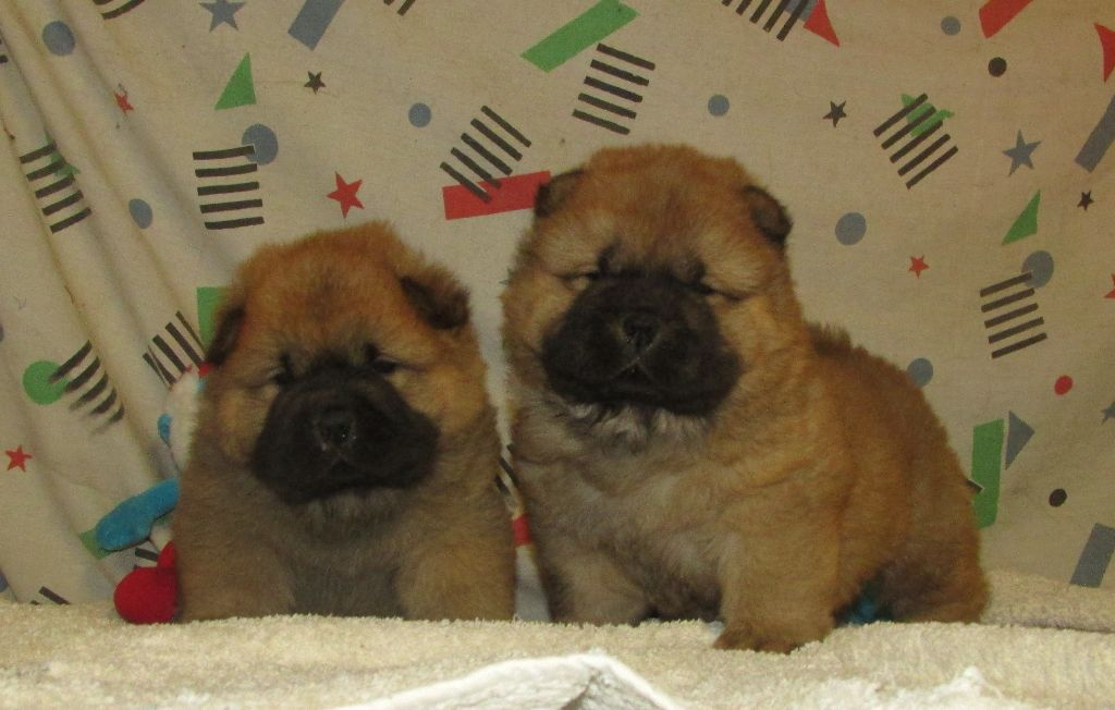CHIOT - Chow Chow