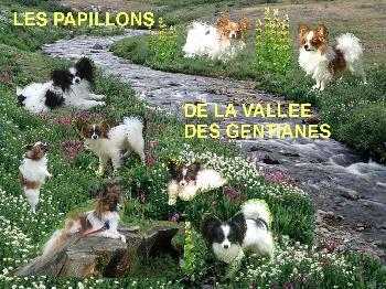 Accueil Elevage De La Vallee Des Gentianes Eleveur De Chiens Epagneul Nain Continental Papillon