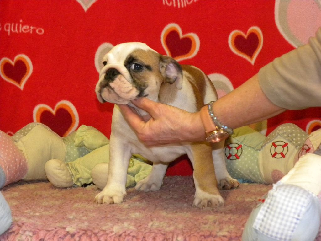 from the Living Daylights - Chiot disponible  - Bulldog Anglais