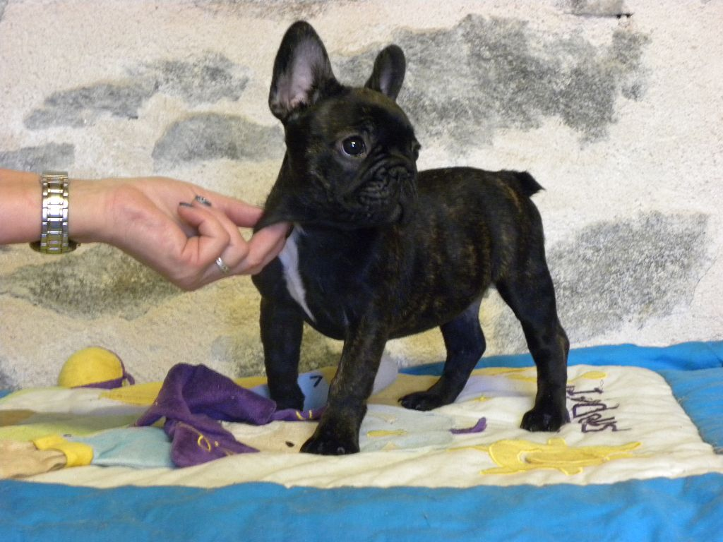 from the Living Daylights - Chiot disponible  - Bouledogue français
