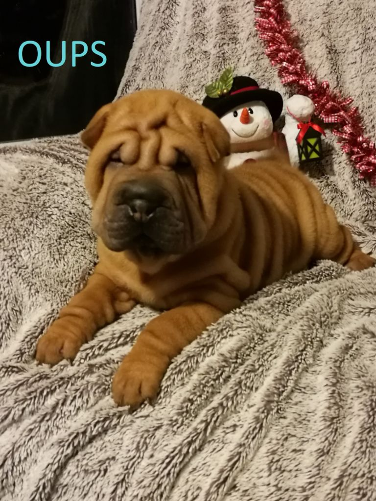 du Temple de Kwantung - Chiot disponible  - Shar Pei
