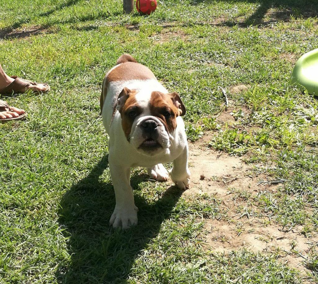 du Temple de Kwantung - Chiot disponible  - Bulldog Anglais