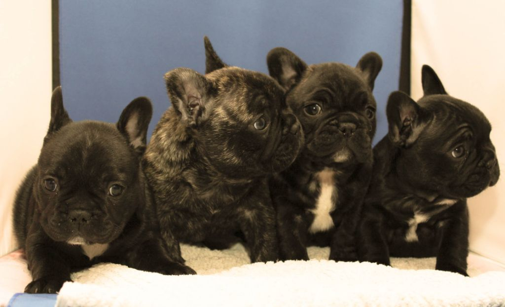 chiot Bouledogue français d'Apollon Grab