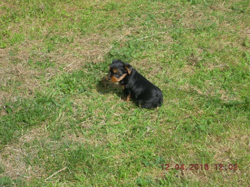 du Marquis de Longuelance - Chiot disponible  - Yorkshire Terrier