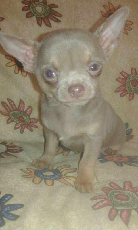 NORTON - Chihuahua