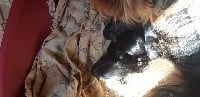 Yorkshire Terrier - du Marquis de Longuelance