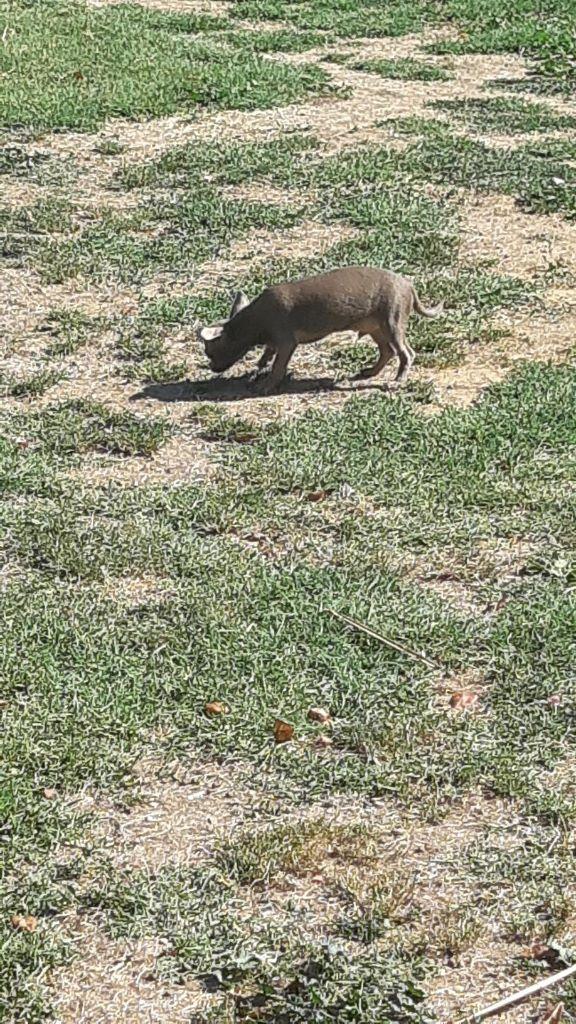 du Marquis de Longuelance - Chiot disponible  - Chihuahua