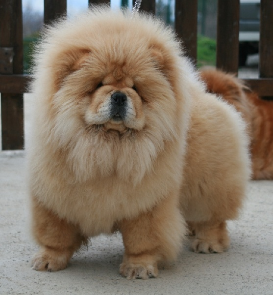 Extrêmement Chiot - Elevage Chang Cheng - eleveur de chiens Chow Chow IN54