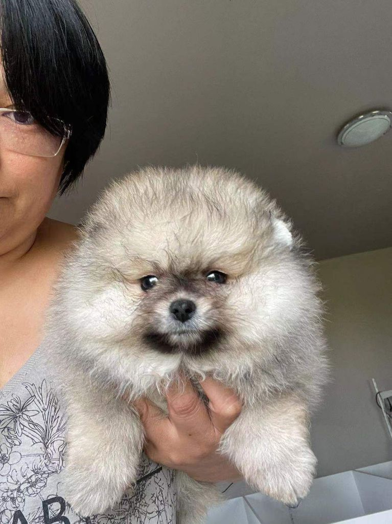 Chang Cheng - Chiot disponible  - Spitz allemand