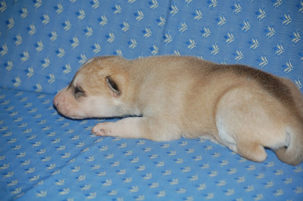 du Menez des Glaziks - Chiot disponible  - Siberian Husky