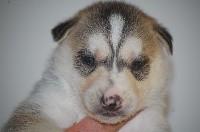 Siberian Husky - du Menez des Glaziks