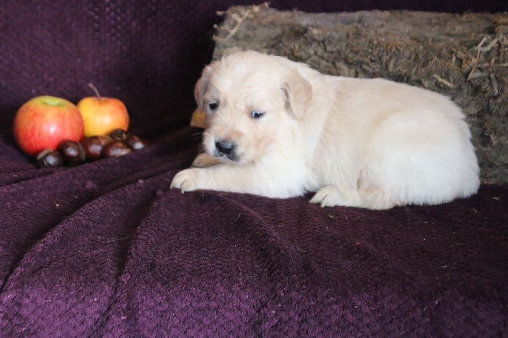 des tribus de Mataoka - Chiot disponible  - Golden Retriever