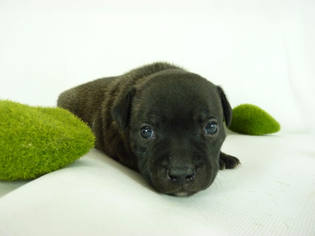 des kitchou'Pitchou - Chiot disponible  - Staffordshire Bull Terrier