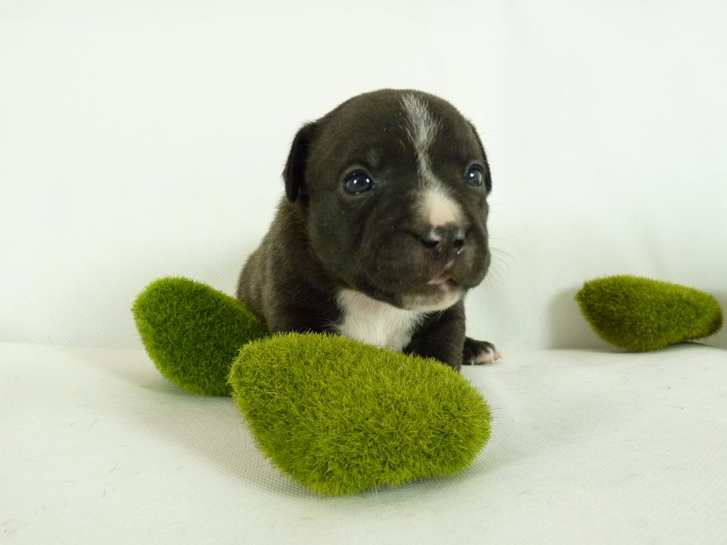 des kitchou'Pitchou - Chiot disponible  - Staffordshire Bull Terrier