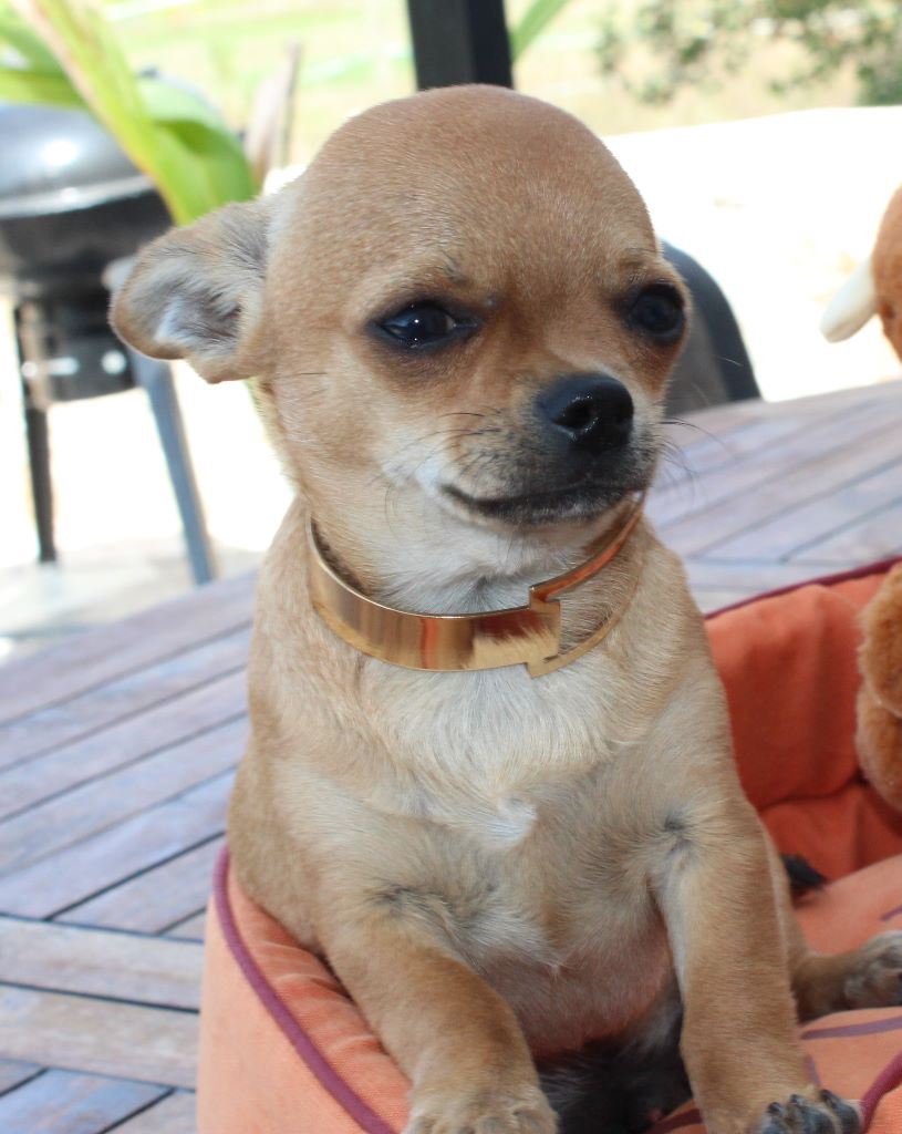 Oscar - Chihuahua
